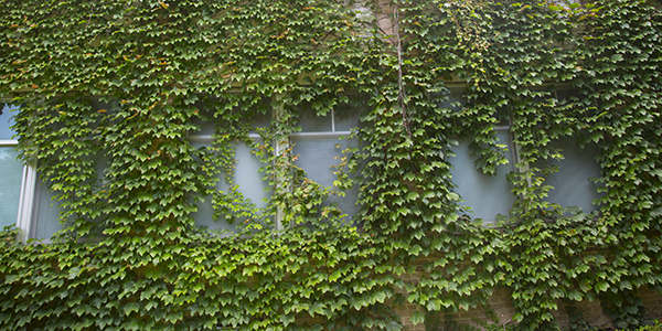 It's been an excellent summer for growing. Green vines cover the north side of Farr Hall of Science.
