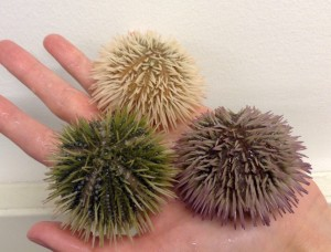 Ray Allen Sea Urchins