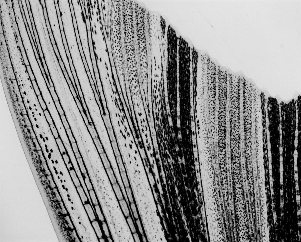 Adjusted bright field image of zebrafish fin taken in the Poss lab at Duke University.