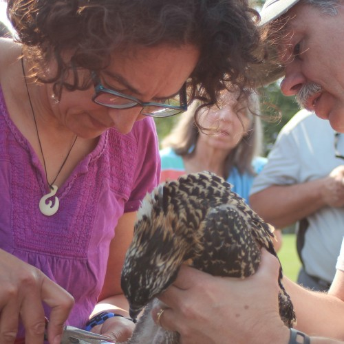 Associate Professor of Biology Memuna Khan bands an osprey chick