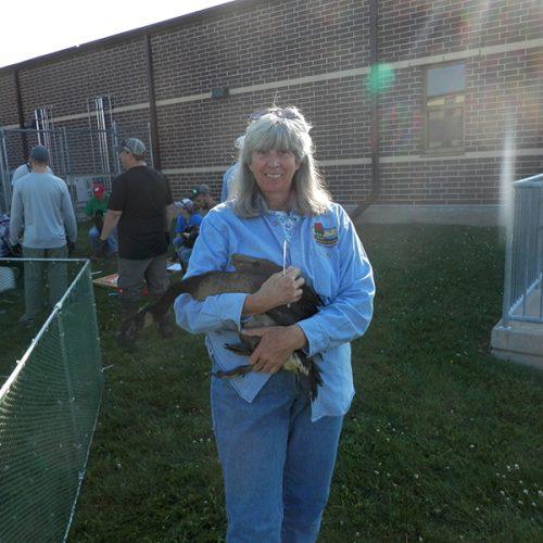 Ellen Barth '80 banding geese