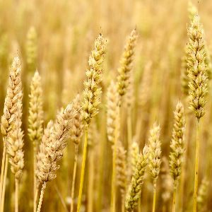 golden stalks of wheat